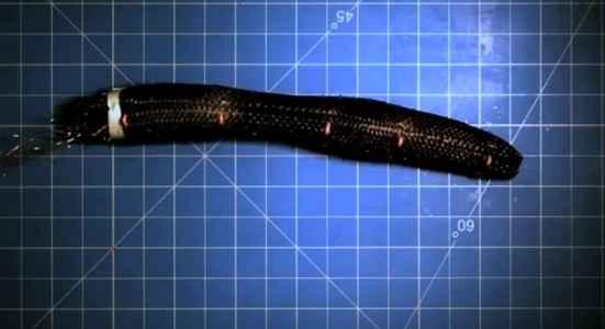 Meshworm