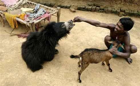 Индия, медведь в семье