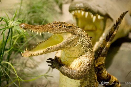 упоротый крокодил_3