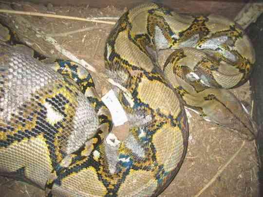 змеи-людоеды