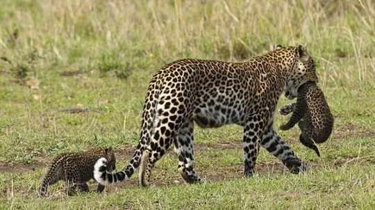 леопарды_семейство
