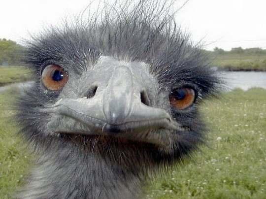 страус_эму