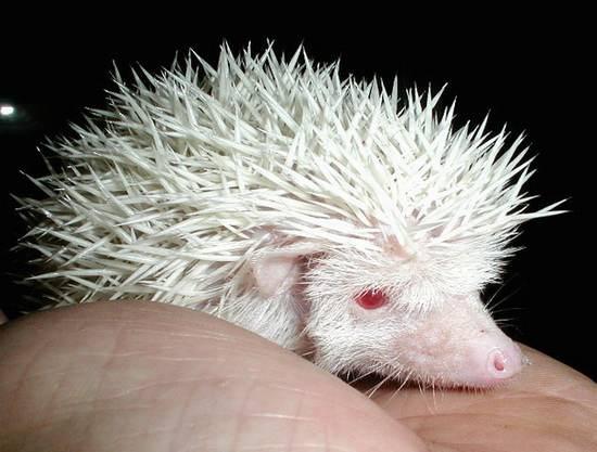 Ёжик-альбинос