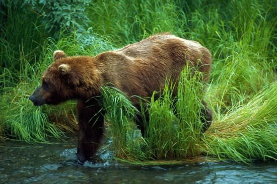 Бурый медведь на водопое