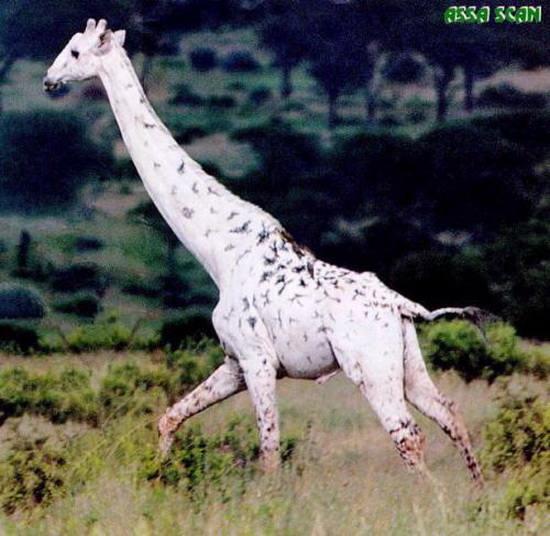Жираф-альбинос