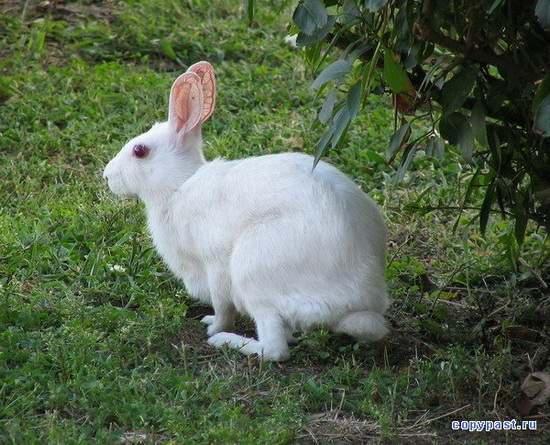 Заяц-альбинос