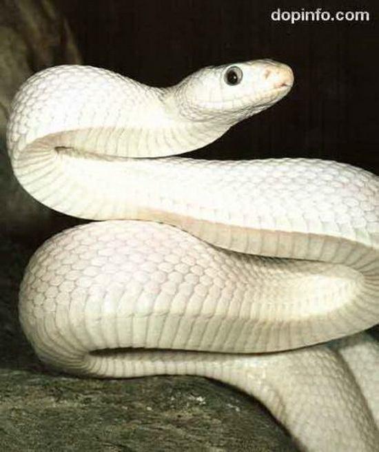 Змея-альбинос