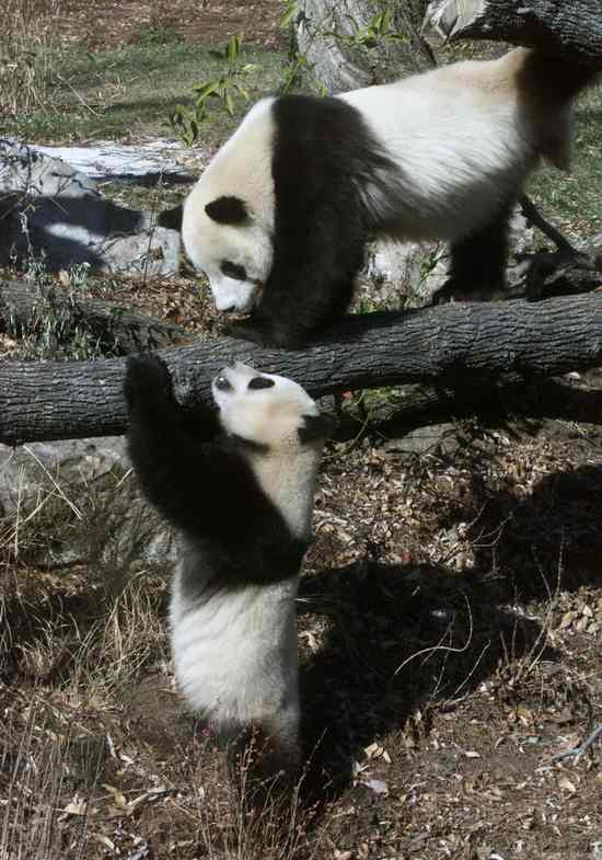 Панды развлекаются