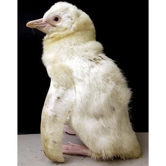 Пингвин-альбинос