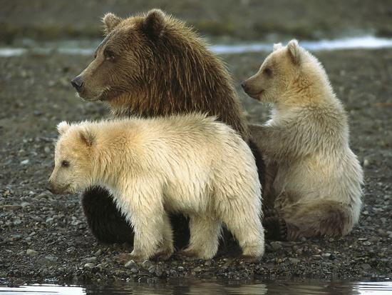 Семейка_медведей