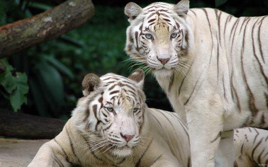 Тигр-альбинос