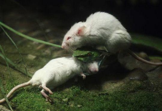 мыши_змея