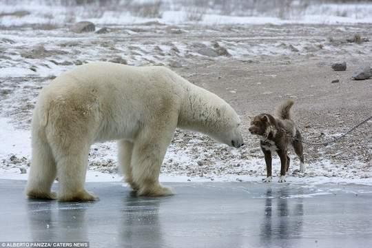медведь_пёс