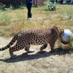 Застрявший в бидоне леопард пришел за помощью к людям