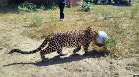 леопард_бидон