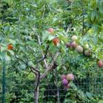 Дерево, которое на протяжении всего года дает 40 разных плодов