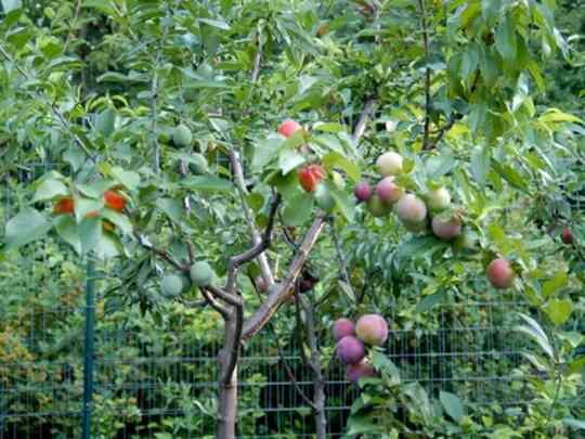 Дерево_сорока_фруктов+короткие_факты