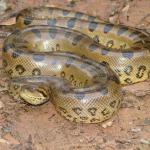 Какая из змей, самая крупная в мире?