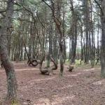 Танцующий лес у Балтийского моря (фото)