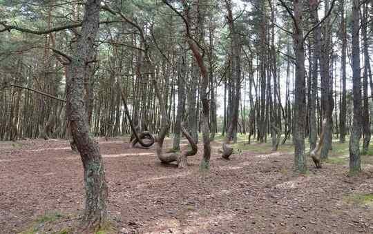 танцующий_лес+Балтика