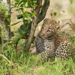 Леопардик Поли— милейшее создание! (фото)