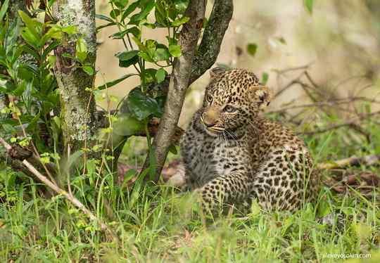 Леопардик_Поли+животные+фото
