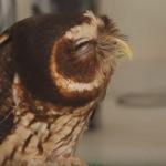 Эти забавные и милые совы (видео)