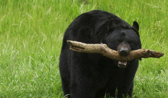 black-bear-attack-survival_fe_1