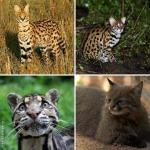17 кошек, о существовании которых знают не все (фото)