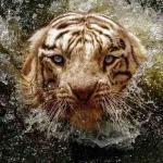 Где можно фотографировать белого бенгальского тигра?