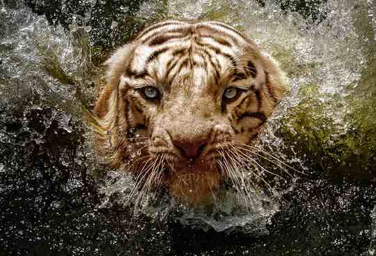 белый_бенгальский_тигр