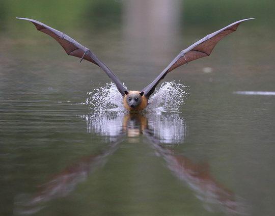 летучая-собака