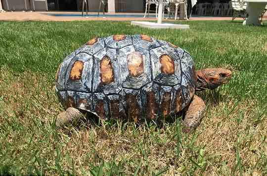 черепаха-панцирь