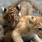 Тигрольвы, лигры и лилигры: новые виды, рождённые в неволе