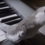 «Голосистый» попугай (видео)