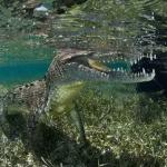 Подводная прогулка с крокодилами (фото)
