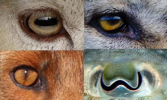Сравнение форм зрачков у более чем 200 видов животных выявило явную закономерность.