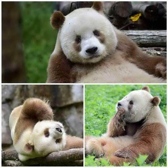 Несмотря на распространенное мнение, что гигантские панды обладают только черным и белым цветом шерсти, бывают и уникальные исключения