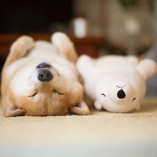 Сиба-ину по кличке Мару больше всего на свете любит спать, особенно в компании со своей плюшевой игрушкой в виде полярного медведя