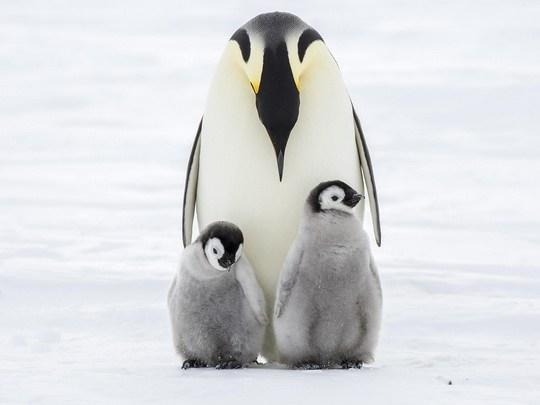 Самки императорских пингвинов оставляют высиженное яйцо на полное попечение отца и отправляются в море на откорм.