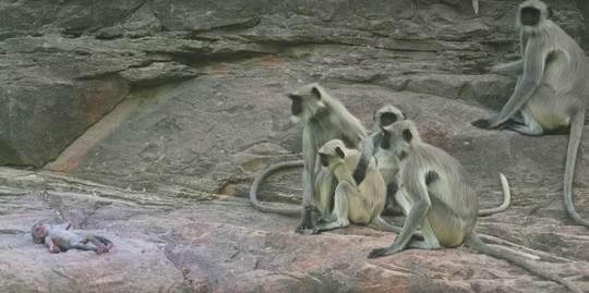 Любой человек с первого взгляда заметил бы, что обезьянка не настоящая, но вот братья наши меньшие не заметили никакой разницы.