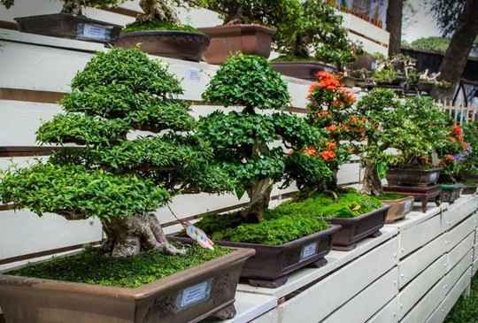 Самое низкое дерево в мире - бонсай, категории кэси-цубу.