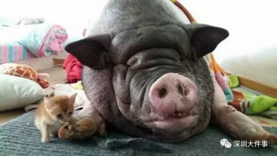 В Китае семья была вынуждена шесть раз сменить квартиру из-за того, что соседи постоянно жаловались на громкий храп их ручной свиньи, которая весит 150 килограммов.