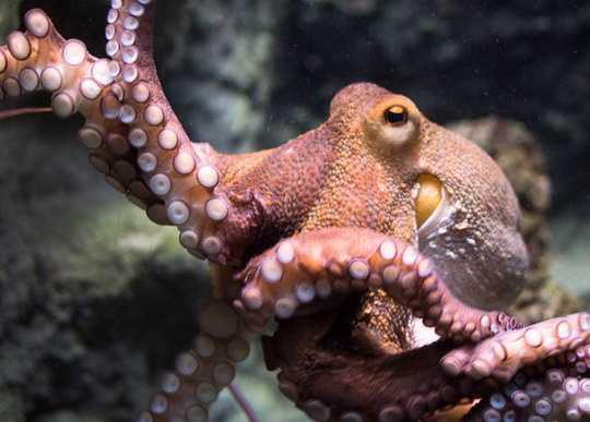Нервная система осьминога устроена так, что только треть от общего числа нейронов находится в мозге