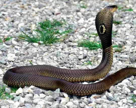 Все животные так или иначе восприимчивы к укусам змей.
