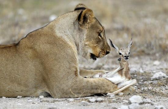 3_львица и антилопа