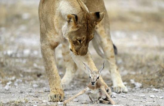 4_львица и антилопа