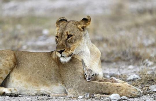 Глядя на львицу, сжимающую в лапах детеныша антилопы, можно подумать, что хищница играет с едой, но это не так.