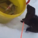 «Нахалюга»: норка и рыбак (видео)