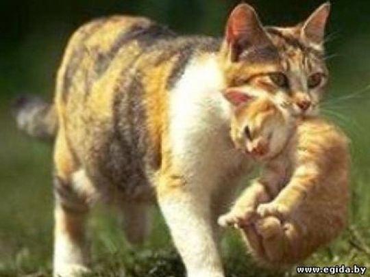 Почему кошки и другие животные переносят детей зубами за холку?